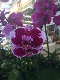Thailand orchids (Wil 12)