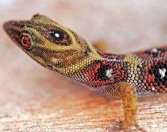 Daudin's Gecko (Gonatodes daudini) ~ETS #lizards