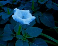 Blue Flower Night Time Twilight Blooming Single Moonflower Datura Trumpet Lily Green Teal Leaves Surreal Botanical Photography Photo Print by EclecticForest on Etsy
