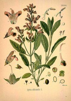 Salvia officinalis L. , Sage - Medicinal Botanical Plants