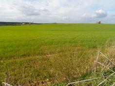 Campo de trigo tras las lluvias