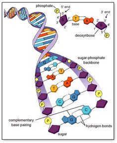 structure of DNA - Bildung Ap Biology, Biology Review, Biology Memes, Biology Lessons, Cell Biology, Molecular Biology, Science Biology, Teaching Biology, Life Science