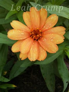 Zinnia 2018 Plants, Planting Flowers, Zinnias, Flowers, Plant Pictures, Plant Identification