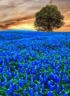 Blue lone tree flower fields landscape