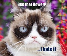 Here's a gift for Grumpy cat lovers.Hopefully you love to Grumpy cat.Well, here's collection of some Grumpy cat Memes Monday that are so funny. Grumpy Cat Quotes, Funny Grumpy Cat Memes, Cat Jokes, Best Funny Jokes, Funny Cats, Funny Memes, Grumpy Cats, Angry Cat Memes, Top Memes