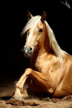 Beautiful Palomino, pretty face and golden shiny coat. Vida Animal, Especie Animal, Mundo Animal, Most Beautiful Animals, Beautiful Horses, Beautiful Creatures, Simply Beautiful, Horse Pictures, Animal Pictures