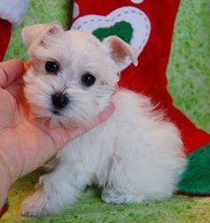 White teacup schnauzer puppy