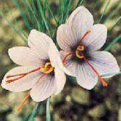 Saffron Bulbs $5.00 / bulb. You need 5-6 bulbs planted for one recipe. Plant in fall. This would be kind of fun!