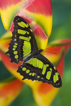 Siproeta stelenes - Malachite Butterfly  -- by Darrell Gulin Photography