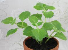 Jak na výrobu rýmovníkové masti? Plant Leaves, Plants, Plant, Planets