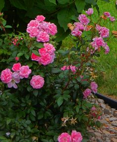 roses of summer