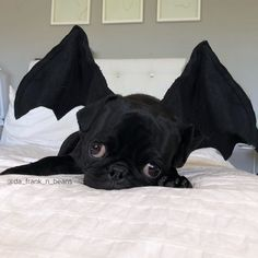 Batpug! Photo by @da_frank_n_beans Want to be featured on our Instagram? Tag your photos with #thepugdiary for your chance to be featured.