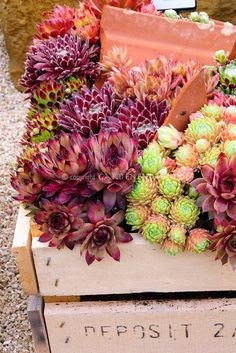 Mixed sempervivum planted in wooden crate box Cactus Arrangements Succulents In Containers, Cacti And Succulents, Planting Succulents, Planting Flowers, Succulent Gardening, Container Gardening, Garden Plants, Sempervivum, Wooden Crate Boxes
