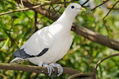 Nutmeg, Torresian Imperial orTorres Strait Pigeon -Australia, New Guinea,Aru Islands, islands in Geelvink Bay,D'Entrecasteaux Islands&Louisiade Archipelago