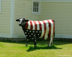 Patriotic Cow - Photograph at BetterPhoto.com