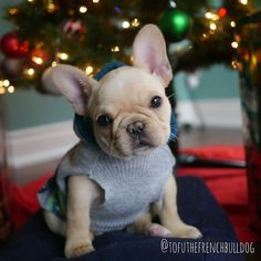 Tofu, the French Bulldog Puppy More #Buldog #bulldogpuppy