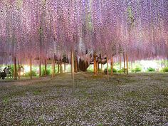 A four hour bus ride away from Tokyo, this idyllic, fairytale walkway covered in a blanket of flowers, is located at Wisteria Tunnel at Kawa...