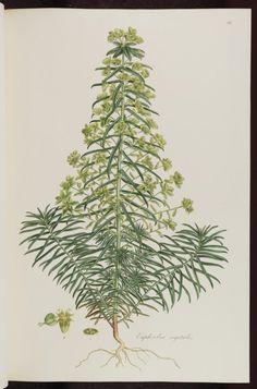 #flower #botanical #euphorbia Euphorbia segetalis http://www.bodley.ox.ac.uk/users/millsr/isbes/FG/FGE3/images/plasci002_aah_0125_3.jpg