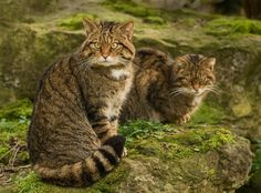 Scottish Wildcat - An endangered, ancient cat species with very interesting lives cats Big Cats, Crazy Cats, Cats And Kittens, Cute Cats, Funny Cats, Siamese Cats, Rare Animals, Animals And Pets, Wild Animals