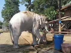 albino elephant - Google Search