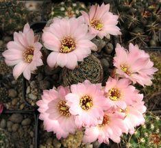 Rebutia pygmaea 'haagei' canacruzens…