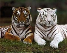 White Bengal Tigers.