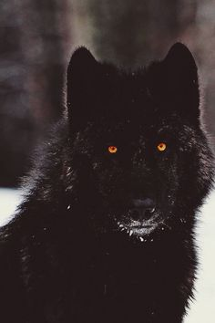Name: Lucian 'Lucas' or 'Luke' Nigrum Age: 20 Species: Werewolf. Rank: Alpha. Colouring: Full Black. Eyes: Gold. Pack Membership: Dire Wolf Pack. Name to come at later date.