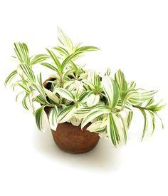 """La tradescantia, l'indémodable : Des plantes d'intérieur """"increvables"""" etfaciles à cultiver - Linternaute"""