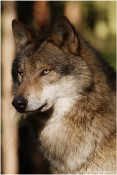 I can't help but think this guy has some brown fur, then again, it could be quite grey. Sunlight can do that I guess... Nevertheless, Inspirational appearance for a wolf!
