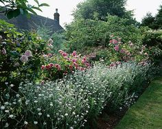 Roses 'ispahan' and 'constance spry' and lychnis