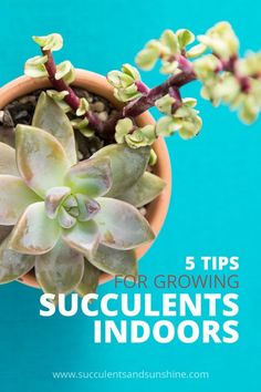 Wondering how to care for succulents indoors? Growing succulents indoors can be a bit tricky. However, with these simple tips you'll be able to better care for your indoor succulent collection. Crassula Succulent, Propagating Succulents, Succulent Gardening, Planting Succulents, Planting Flowers, Container Gardening, Indoor Succulents, Indoor Gardening, Succulent Outdoor