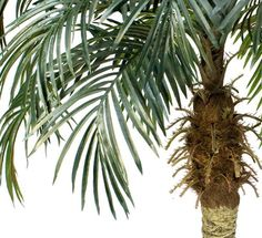Amazon.com: TWO 6' Phoenix Coconut Artificial Tropical Palm Trees, with No Pot,: Kitchen & Dining