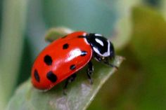 7 Insect Repellents For The Summer - Craft Like This Yellow Ladybug, Baby Ladybug, Ladybug Art, Ladybug Crafts, Nature Activities, Science Activities, Most Beautiful Animals, Insects