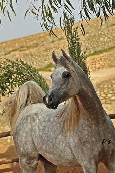 TH Hamza :: Arabian Horses of NK Arabians