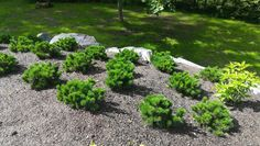 Alkukesästä istutetut vuorimännyt ovat lähteneet hyvin kasvuun. Plants, Outdoor, Outdoor Decor, Stepping Stones
