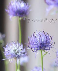 PHYTEUMA SCHEUCHZERI タマシャジンはヨーロッパアルプス、アペニン山脈原産の植物です^^ キキョウ科とは思えないような非常に特徴的で 少しワイルドで濃紫色のユニークな花が咲くタマジャシン♪ 草丈は低く、全体的にコンパクトで春に美しい花を咲かせます。 高山植物の中では比較的暑さに強く花付きも良いので育てやすい植物です^^ Unique Drawings, Online Florist, Citronella Candles, Alpine Plants, Peach Trees, Homemade Valentines, Flowers Perennials, Bride Bouquets, Green Flowers