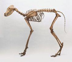 Maned wolf skeleton