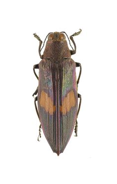 Chrysochroa cuprascens. Collection of the Royal Belgian Institute of Natural Sciences