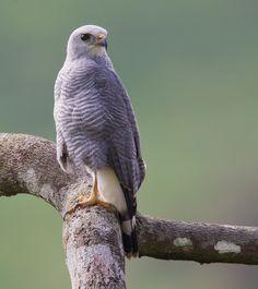 Grey Hawk Buteo Nitidus