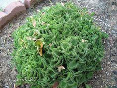 Euphorbia flanaganii cristata | Flickr - Photo Sharing!