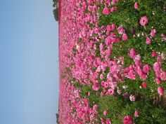 Famous Wildflower Fields Flowers  Carlsbad, CA