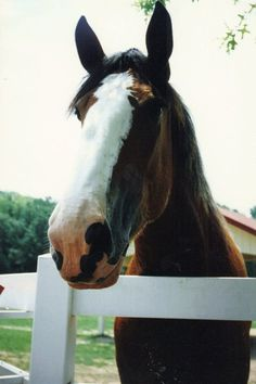 Clydesdale pic I took at Grant's Farm in St. Louis, MO.