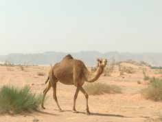 ride a camel in Wadi Rum