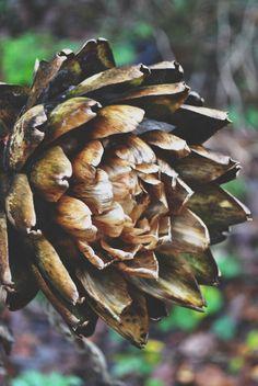 artichoke in the allotments