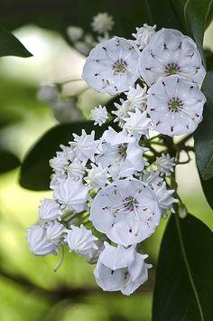 Mountain Laurel (Kalmia latifolia) very poisonous Unusual Flowers, Wonderful Flowers, Beautiful Flowers Garden, Unusual Plants, Rare Flowers, Beautiful Roses, Pretty Flowers, White Flowers, Lilies Flowers