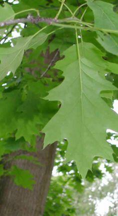 Punatammi - Quercus rubra