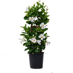 United Nursery Grower Pot in. to 30 in. Tall Mandevilla Trellis Sun Parasol Giant White Live Outdoor Vining - The Home Depot Mandevilla Trellis, Plants, White Flowers, Sun Parasol, Large Flowers, Evergreen Vines, Trellis, Blooming Plants, Plant Ties