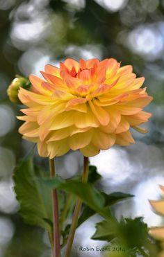 ~~Center Stage - Golden Orange-tipped Dahlia by Robin Evans~~ Dahlia Flower, My Flower, Amazing Flowers, Beautiful Flowers, Zinnias, Flower Pictures, Gladioli, Mellow Yellow, Orange Flowers