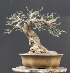 Wild olive, Walter Pall Bonsai Adventures. The WP website is worthy of more than just one look...