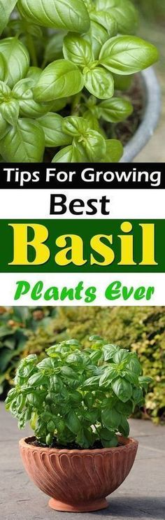 Take a look at these 9 Essential Basil Growing Tips to have a lush and productive basil plant in your herb garden! #organicgardens